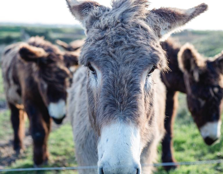 Meet the Ile de Ré's donkeys