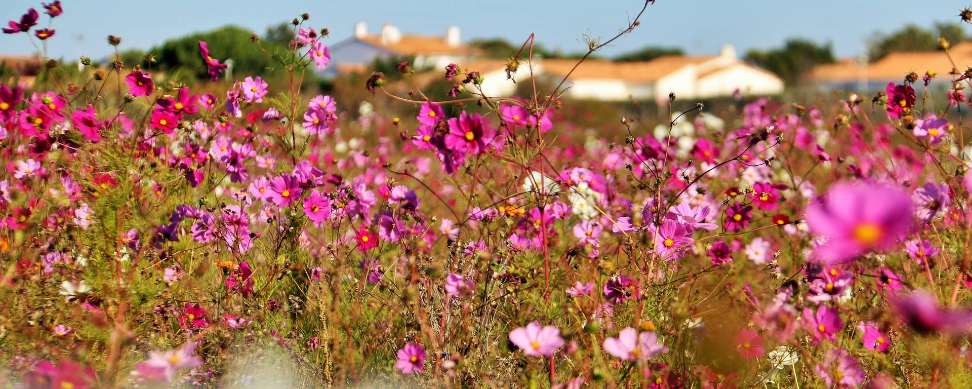 The wild flowers of Ile de Ré by Lesley Williamson