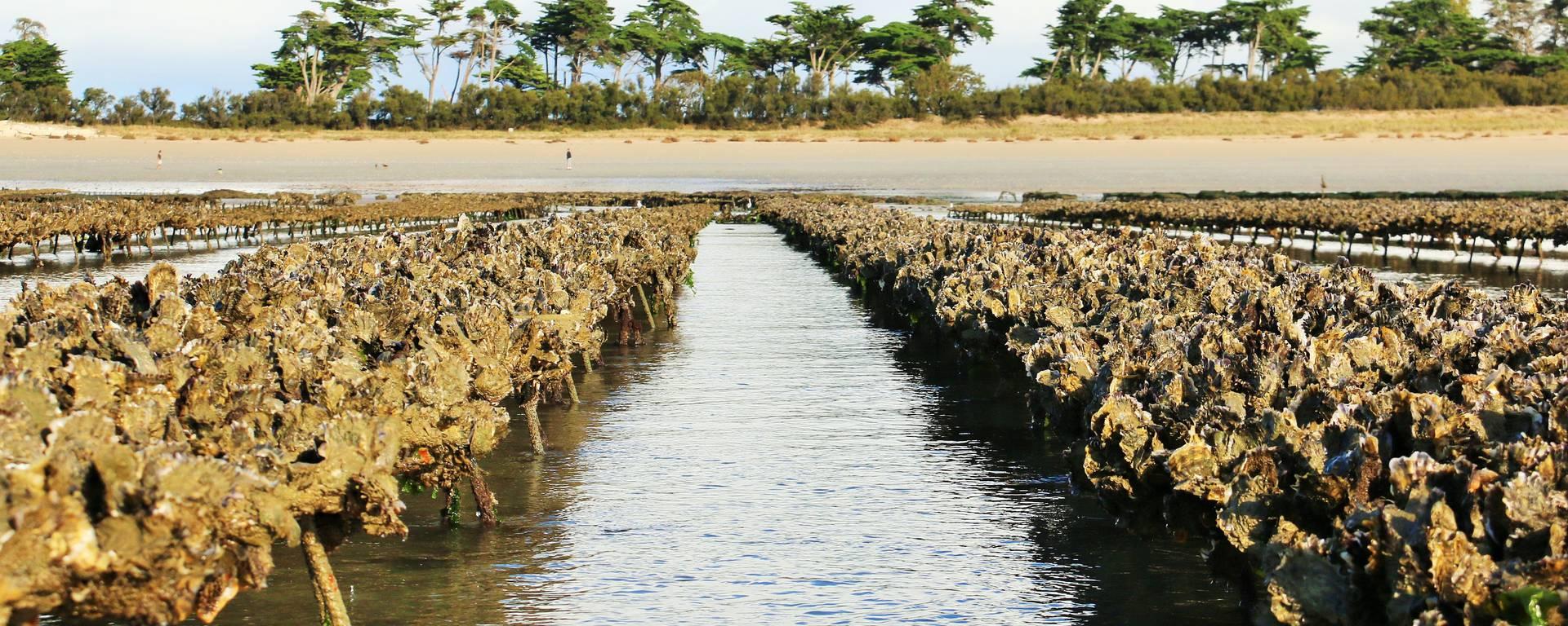 La production des huîtres, étape 1 du cycle de reproduction, @Lesley Williamson