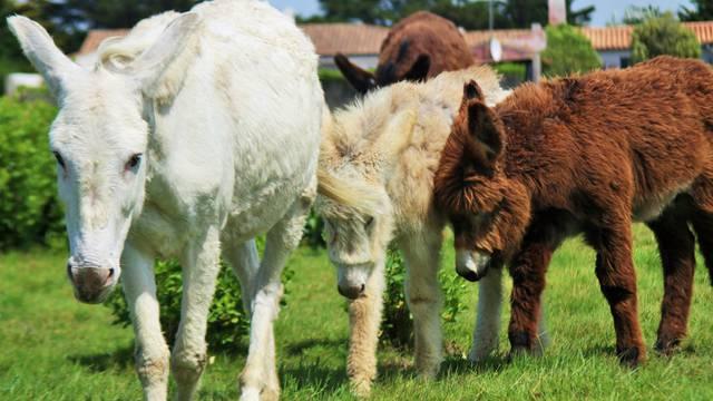 Ile de Ré donkeys